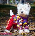 ForMyDogs Дождевик для собак породы вест хайленд уайт терьер, коричневый/фиолетовый, модель для девочек, размер А0